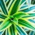Dracaena: plantação, manutenção e tamanho