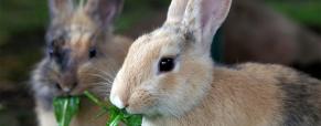 Qual a comida ideal para o meu coelho doméstico?