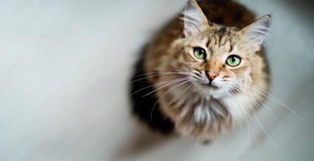 Decifrar a linguagem do seu gato: instruções de uso