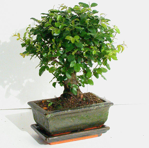 o bonsai de interior jardiland portugal jardiland portugal. Black Bedroom Furniture Sets. Home Design Ideas