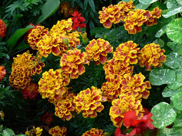 plantas bordaduras jardim:chamada flor das maravilhas (Tagete) é uma das favoritas dos