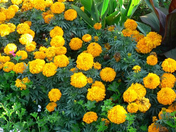 flor de jardim amarela:flor das maravilhas