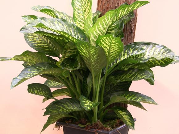 Plantas que purificam o ambiente jardiland portugal - Plantas de interior cintas ...