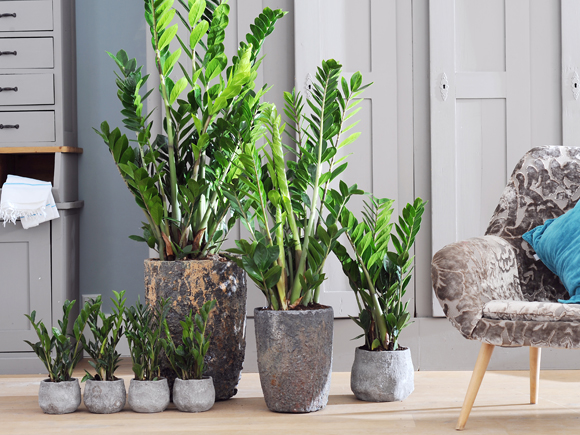 zamioculcas planta do m s de setembro jardiland portugal jardiland portugal. Black Bedroom Furniture Sets. Home Design Ideas