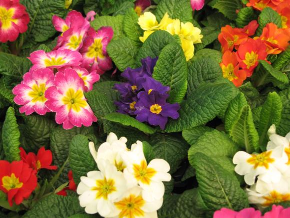 Flores de jardim resistentes ao frio - Plantas para exterior ...