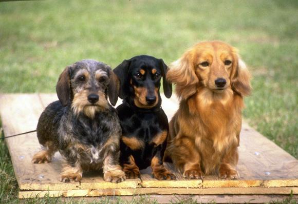 Teckel ou cão salsicha | Jardiland Portugal