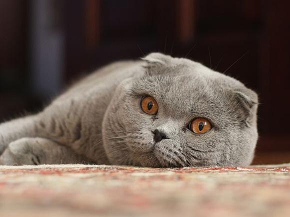 Scottish Fold, o gato ...Characteristics Of British Shorthair Cats