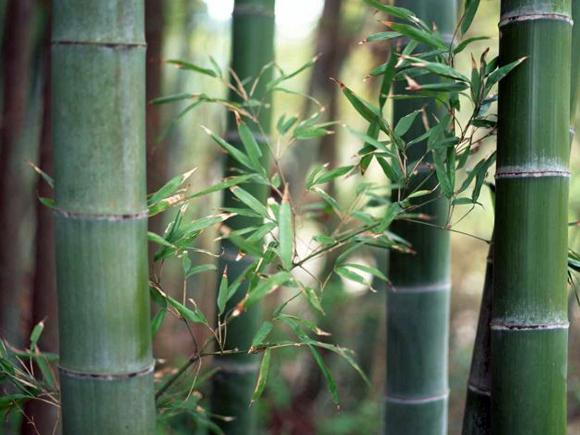 Bambu um grande elemento decorativo jardiland portugal jardiland portugal - Bambu planta exterior ...