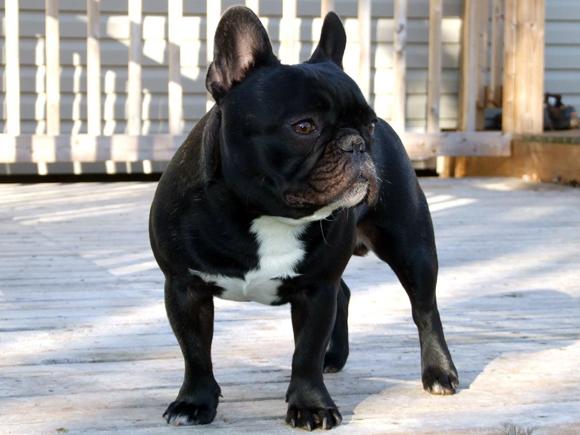 BulldogFrances2