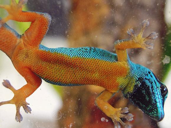 GeckoAzul2