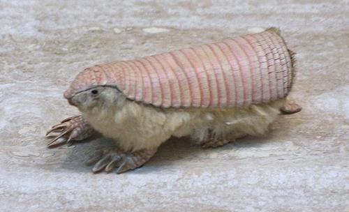 armadillo-rosa