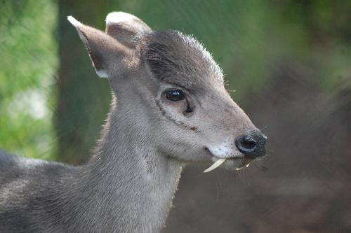 deer-copetudo