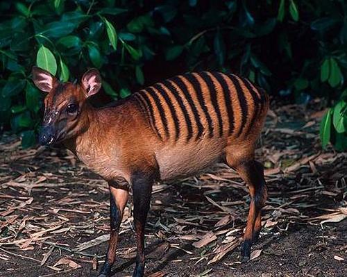 zebra-duiker