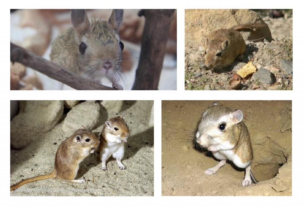 o rato canguru do deserto jardiland portugal jardiland portugal