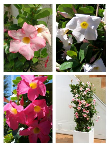 a hibiscus e a diplad nia jardiland portugal jardiland