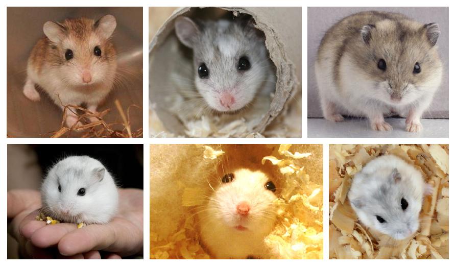 hamsterrusso