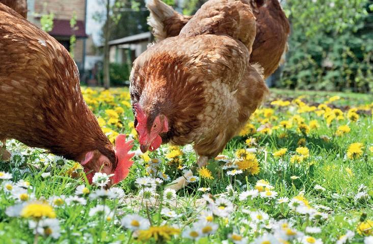 galinha2