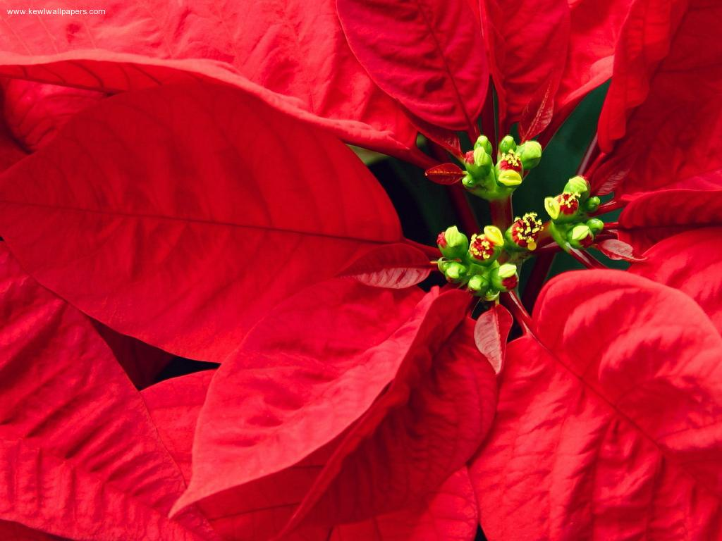 Pretty-Poinsettia-1