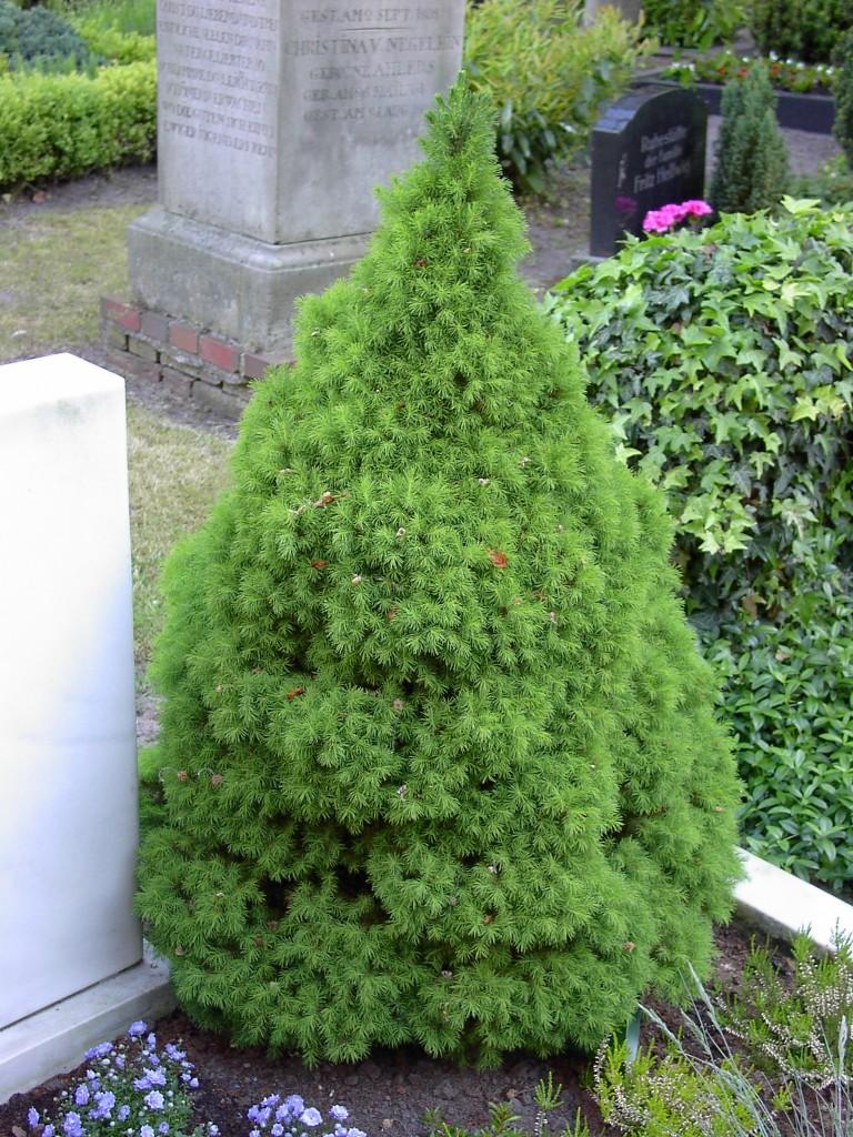 Picea-glauca-Conica-hist-768x1024