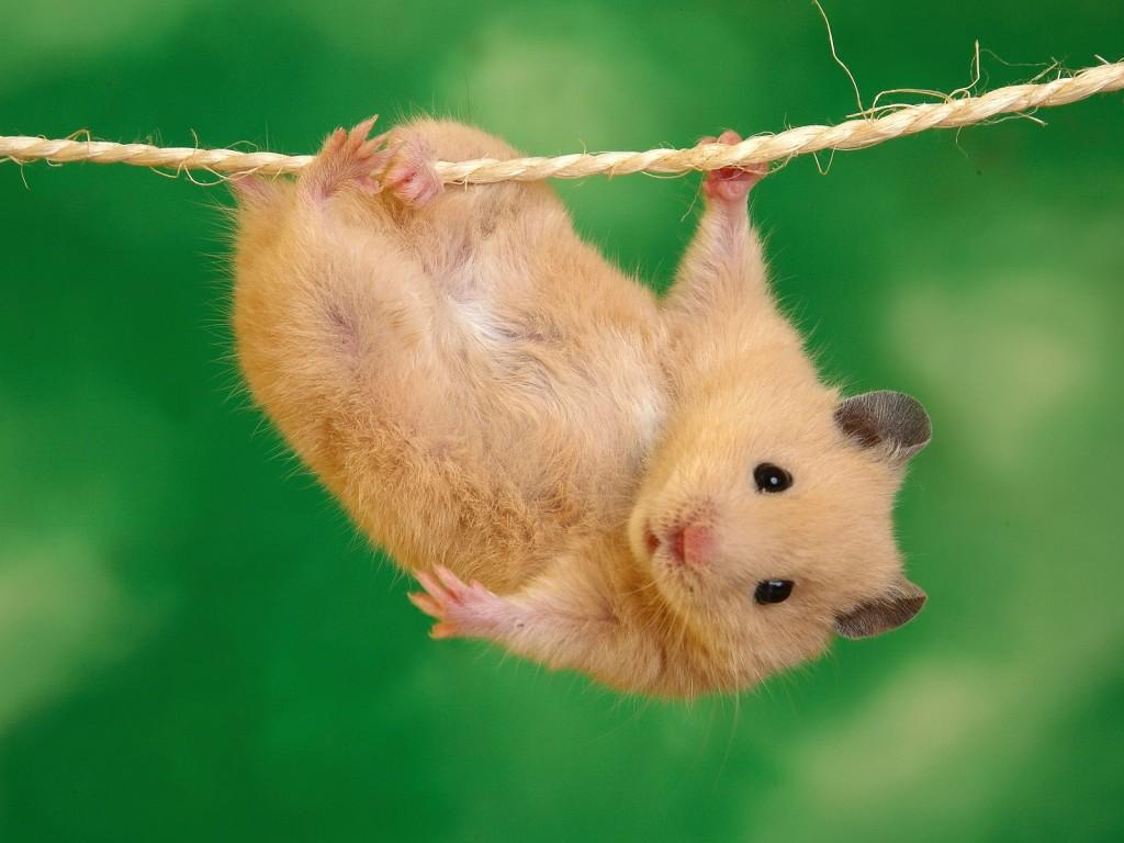 hamster11-1024x768