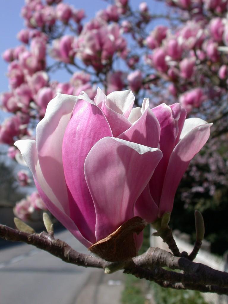 Magnolia_soulangiana