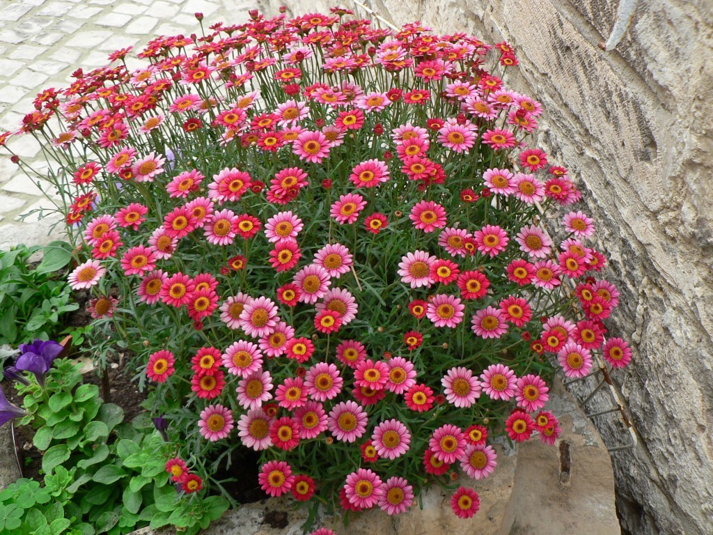 Argyranthemum-anthémis-rose-1024x768