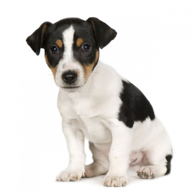 Jack-Russell-02