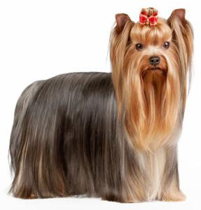 O Terrier Mais Famoso O Yorkshire Terrier Jardiland Portugal
