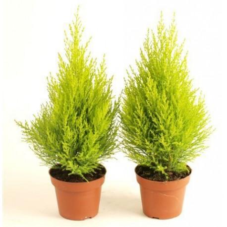 cupressus-goldcrest-wilma-80cm-cedro-limon-goldcrest-cipres-california-cipres-monterrey-o-copa-limon-