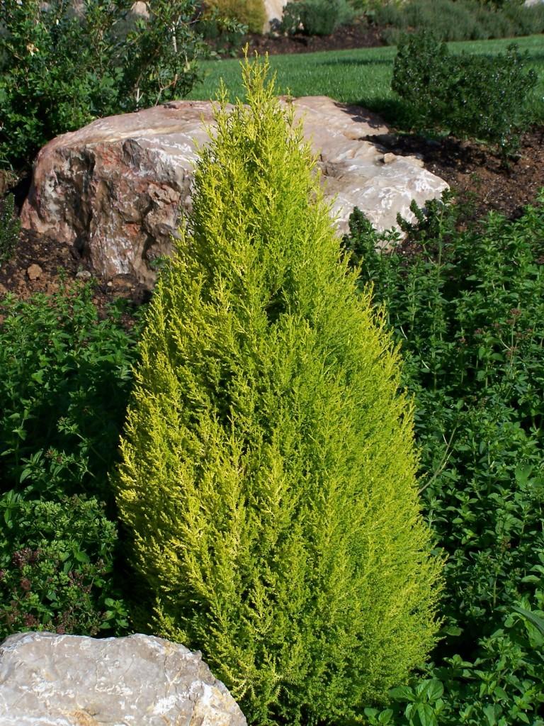 cupressus-wilma1-768x1024