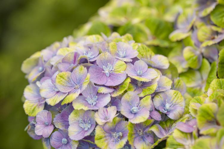 Hydrangea-magical-Amethyst-blauw