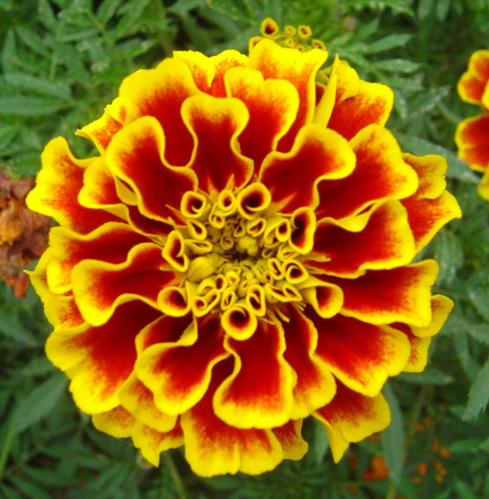 Tagetes_-_Botanical_Garden_of_Bangalore-1003x1024